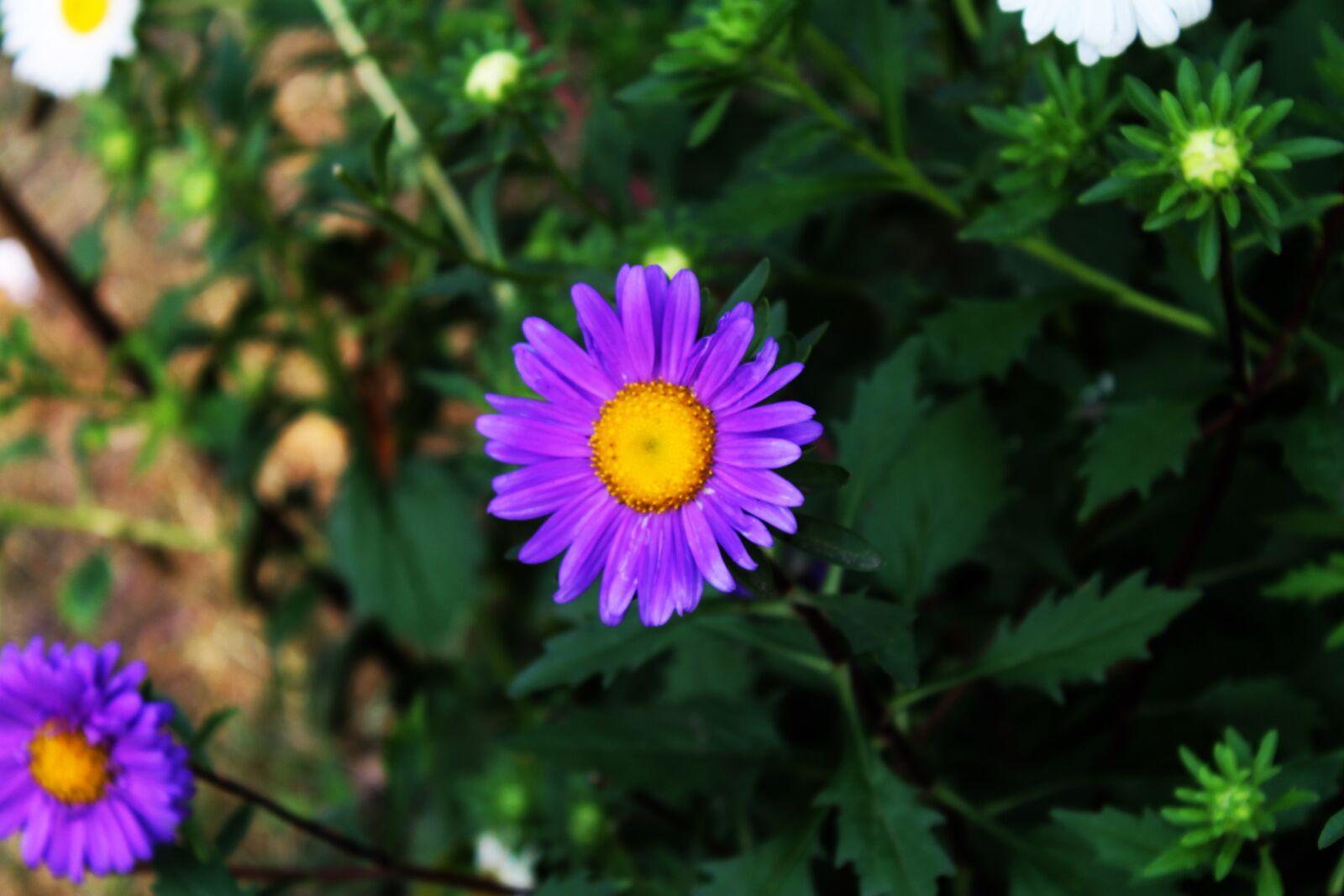 "Canon EOS 1100D (EOS Rebel T3 / EOS Kiss X50) sample photo. ""Flower, purple, bloom"" photography"