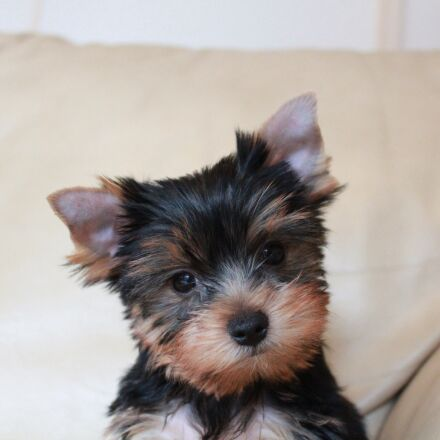 puppy, yorkshire terrier puppy, Canon EOS KISS X5