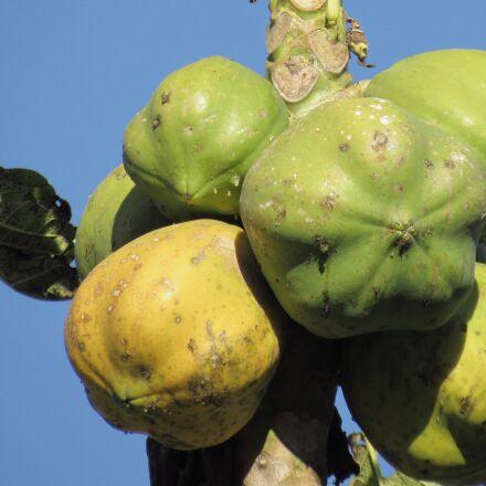 fruit, papaya, nature, Canon POWERSHOT SX520 HS