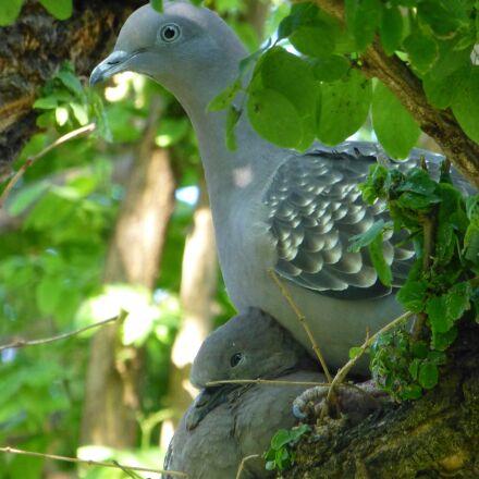 paloma, grey, bird, Panasonic DMC-ZS20