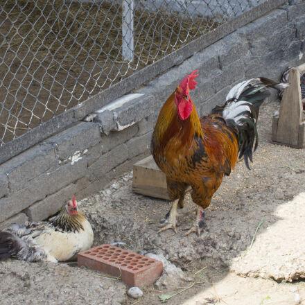 animal, bird, chicken, cock, Canon EOS 550D