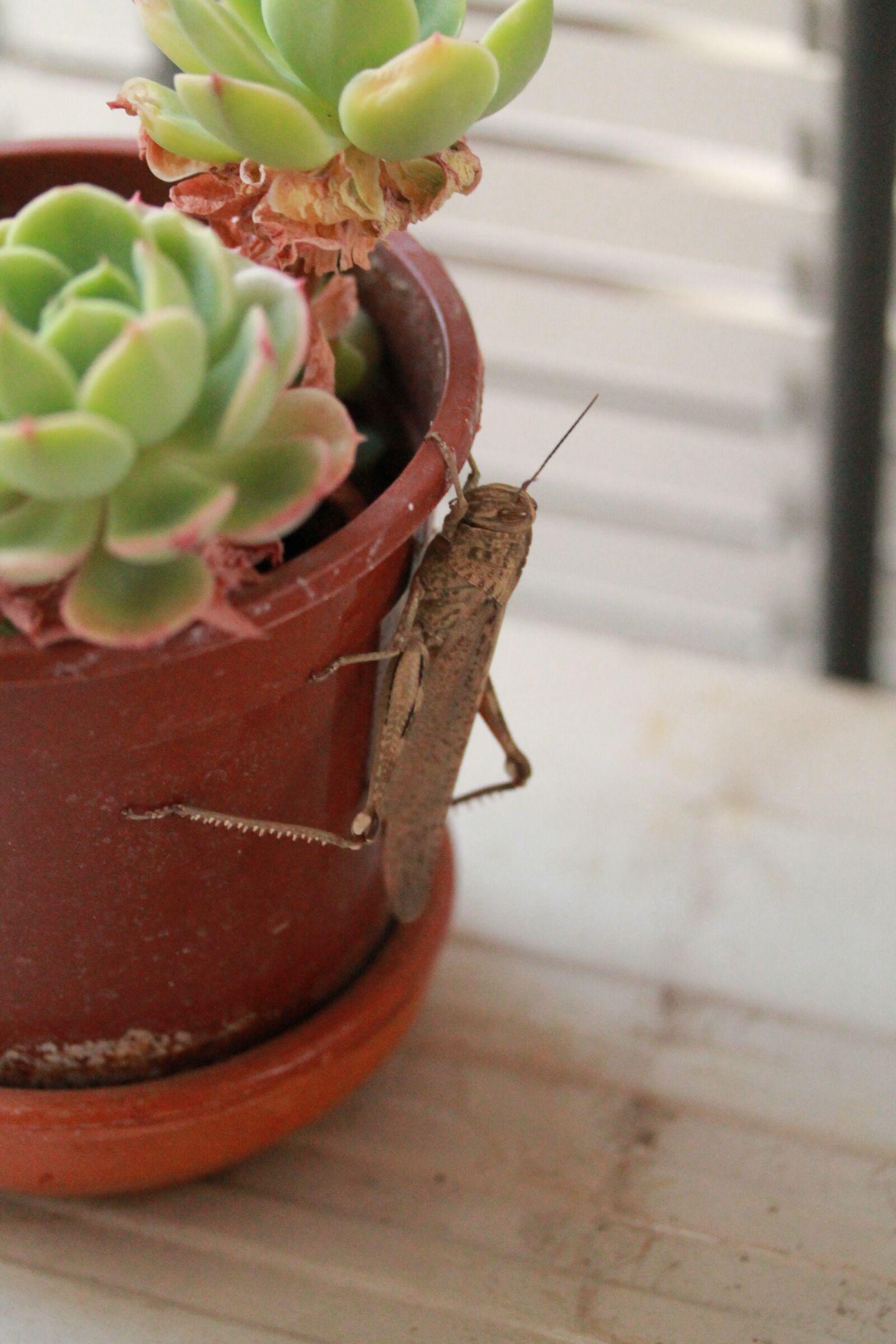 """Canon EOS 1100D (EOS Rebel T3 / EOS Kiss X50) sample photo. """"Grasshopper, balcony, spring"""" photography"""