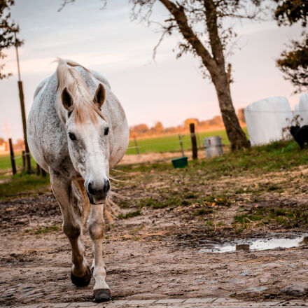 white, and, brown, horse, Canon EOS 5D MARK III