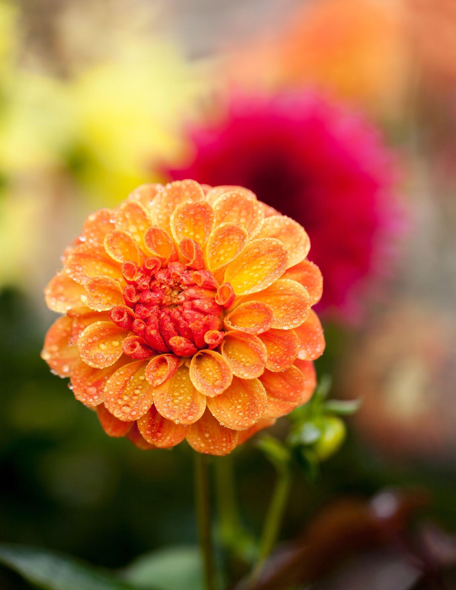 """Canon EOS 5D Mark II sample photo. """"Dahlia, blossom, flower"""" photography"""