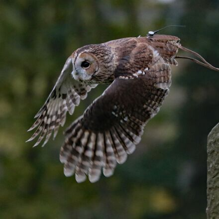 barred owl, owl, usa, Canon EOS 7D MARK II
