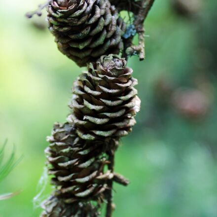 forest, nature, pine cone, Canon EOS 1100D