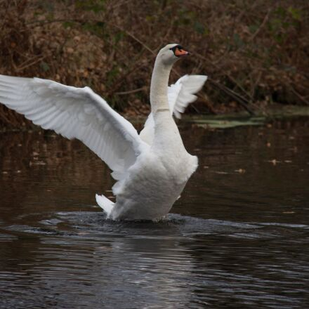 swan, water, autumn, Canon EOS 700D