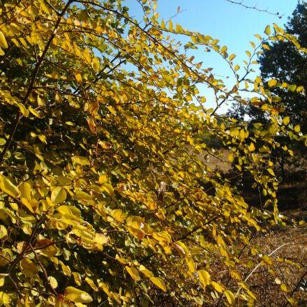 autumn, yellow, judas tree, Samsung GT-S5253