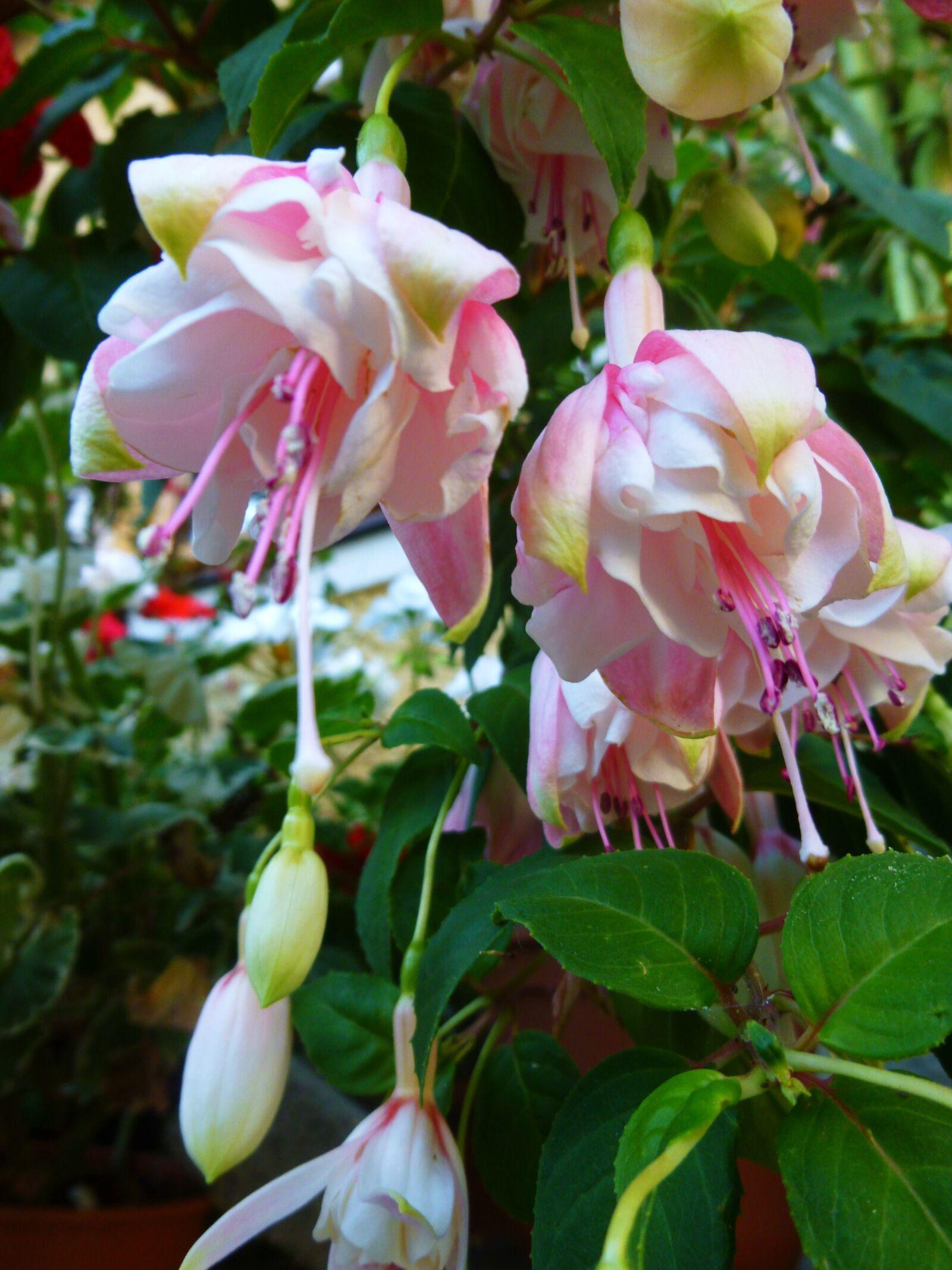 flowers, fuxie, rosa