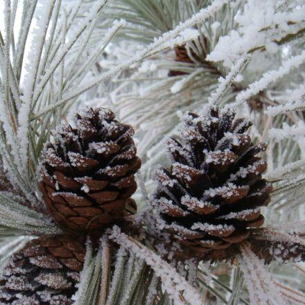 pinecones, winter, frost, Sony DSC-T70