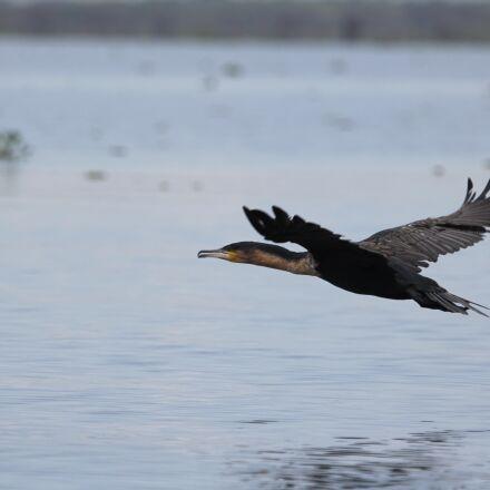 kenya, lake, bird, Canon EOS 60D