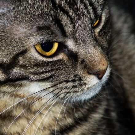 close-up, curious, domestic cat, Sony SLT-A58