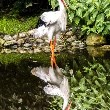 white stork, stork, bird, Olympus E-5