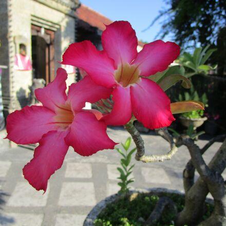 flower, adenium, bali, Canon IXUS 155