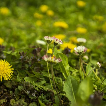 daisy, meadow, dandelion, Sony ILCE-6300