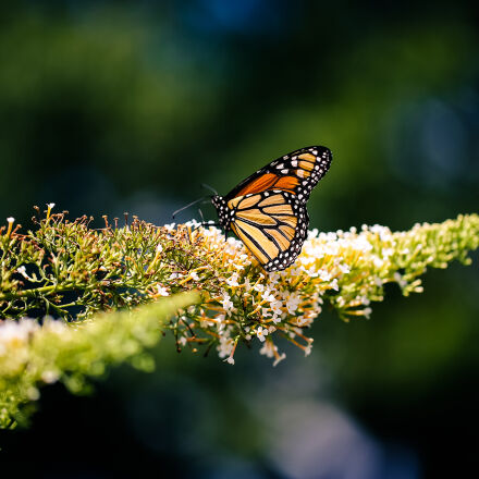 animal, butterfly, insect, nature, Canon EOS 5D MARK III
