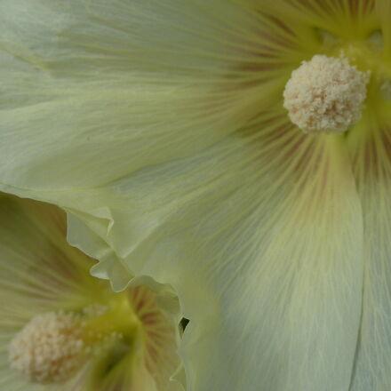flower, hollyhock, pollen, white, Panasonic DMC-ZS3