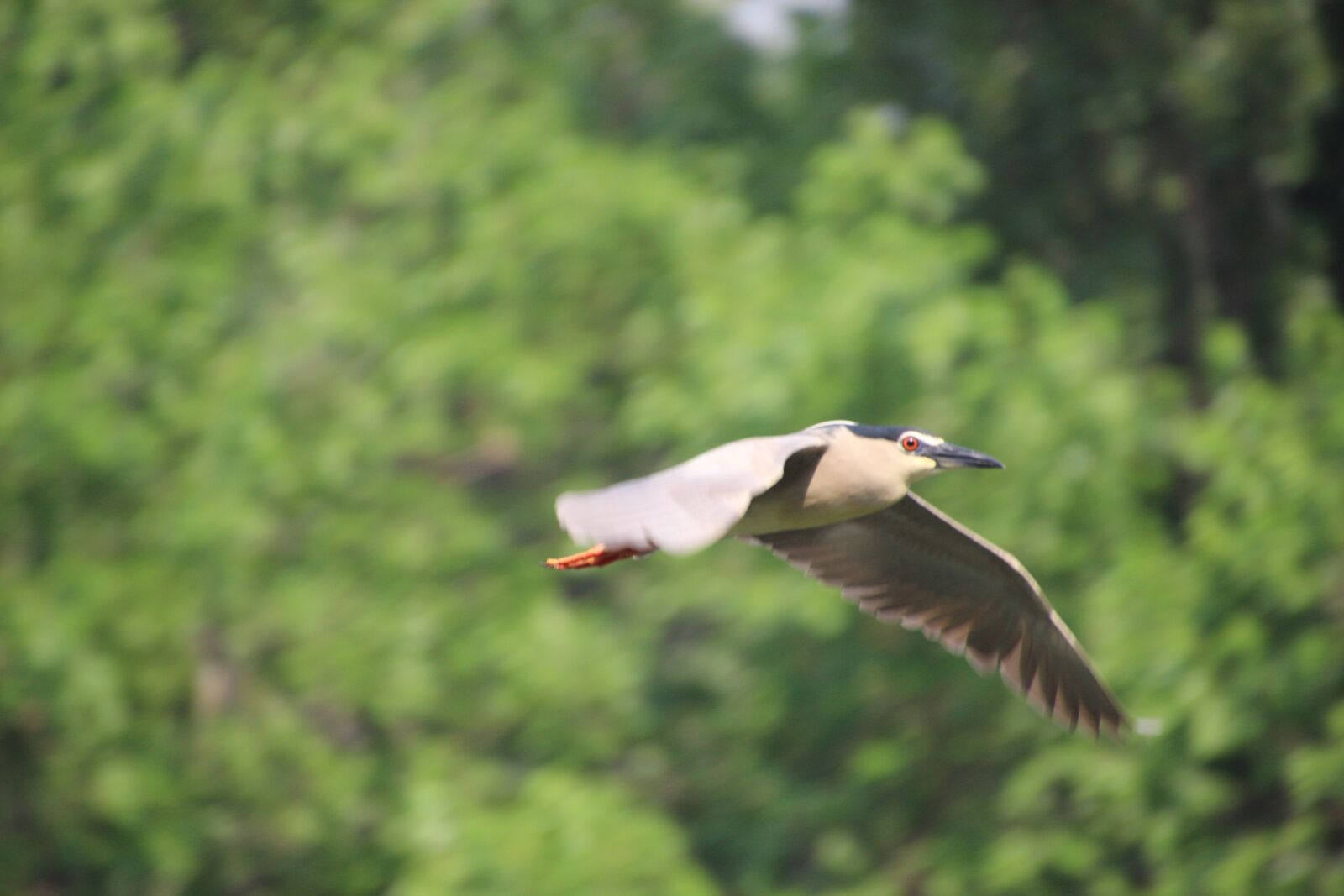 """Canon EOS 600D (Rebel EOS T3i / EOS Kiss X5) sample photo. """"Night heron, flying, water"""" photography"""