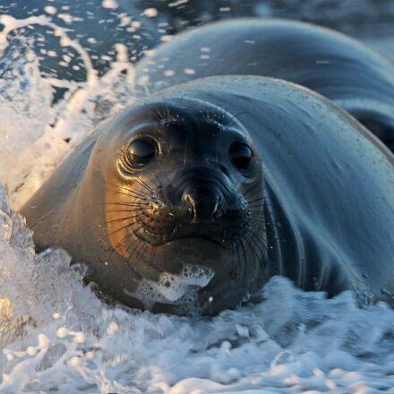 seal, beach, waves, Canon EOS 7D MARK II