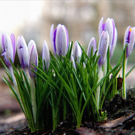 spring, crocus, spring awakening, Fujifilm X-T10