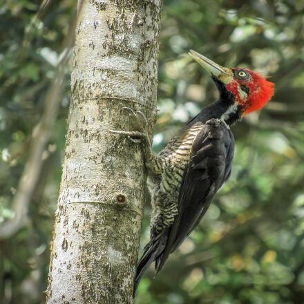 bird, woodpecker, piciformes, Canon POWERSHOT SX520 HS
