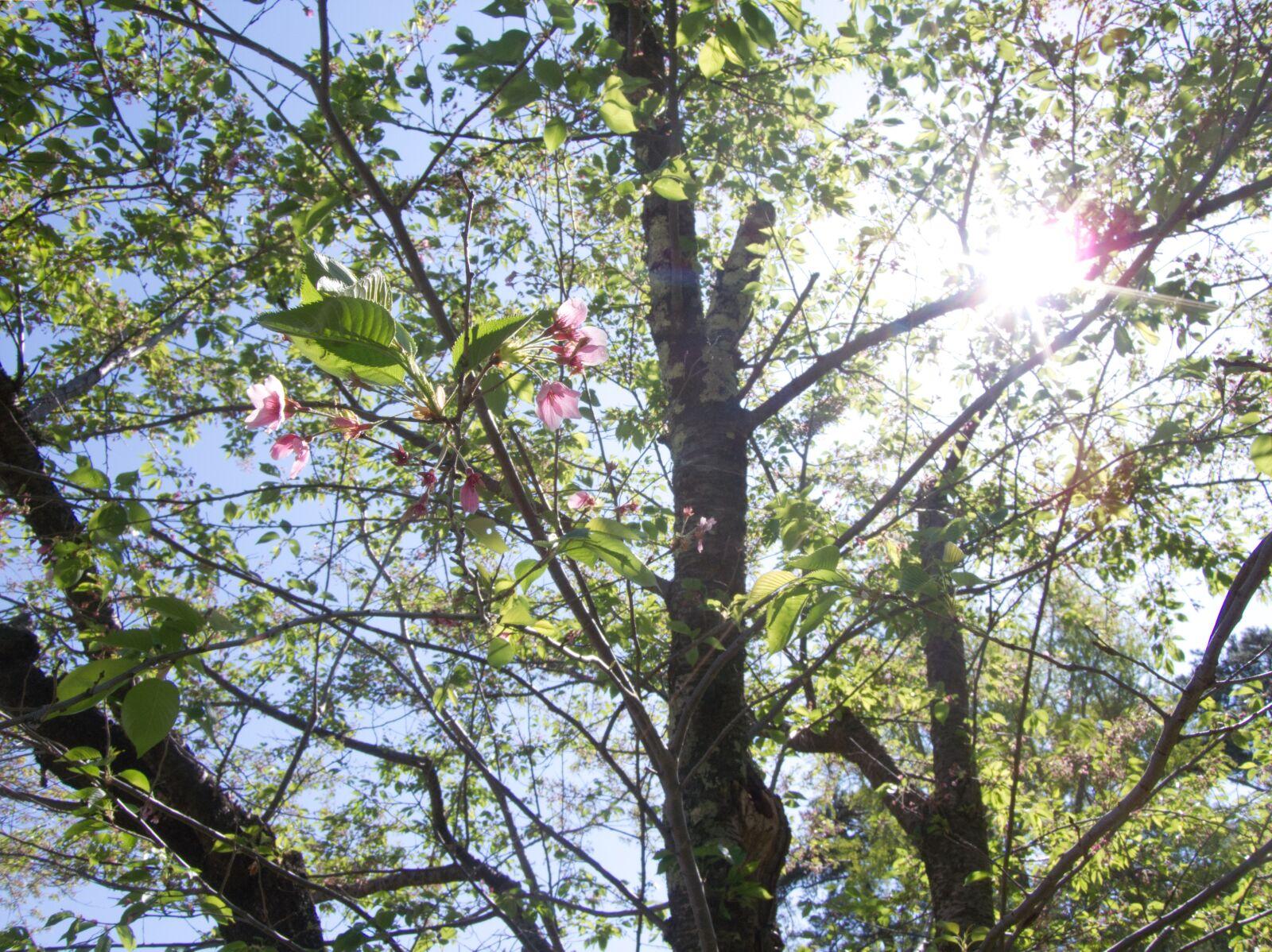 sunbeams, cherry blossoms, begin
