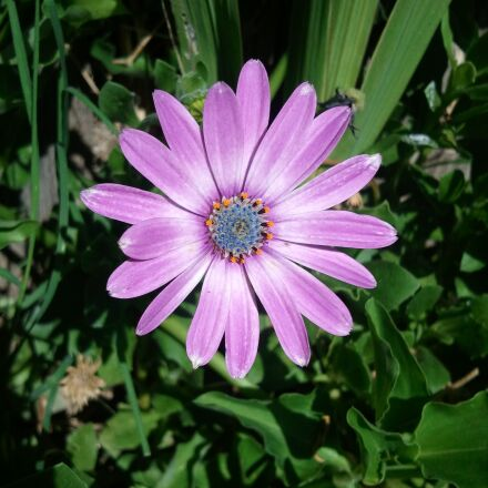 osteospermum, nature, flower, Samsung SGH-I897