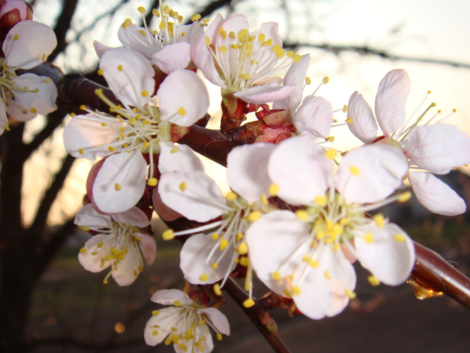 flowers, apricot, sprig