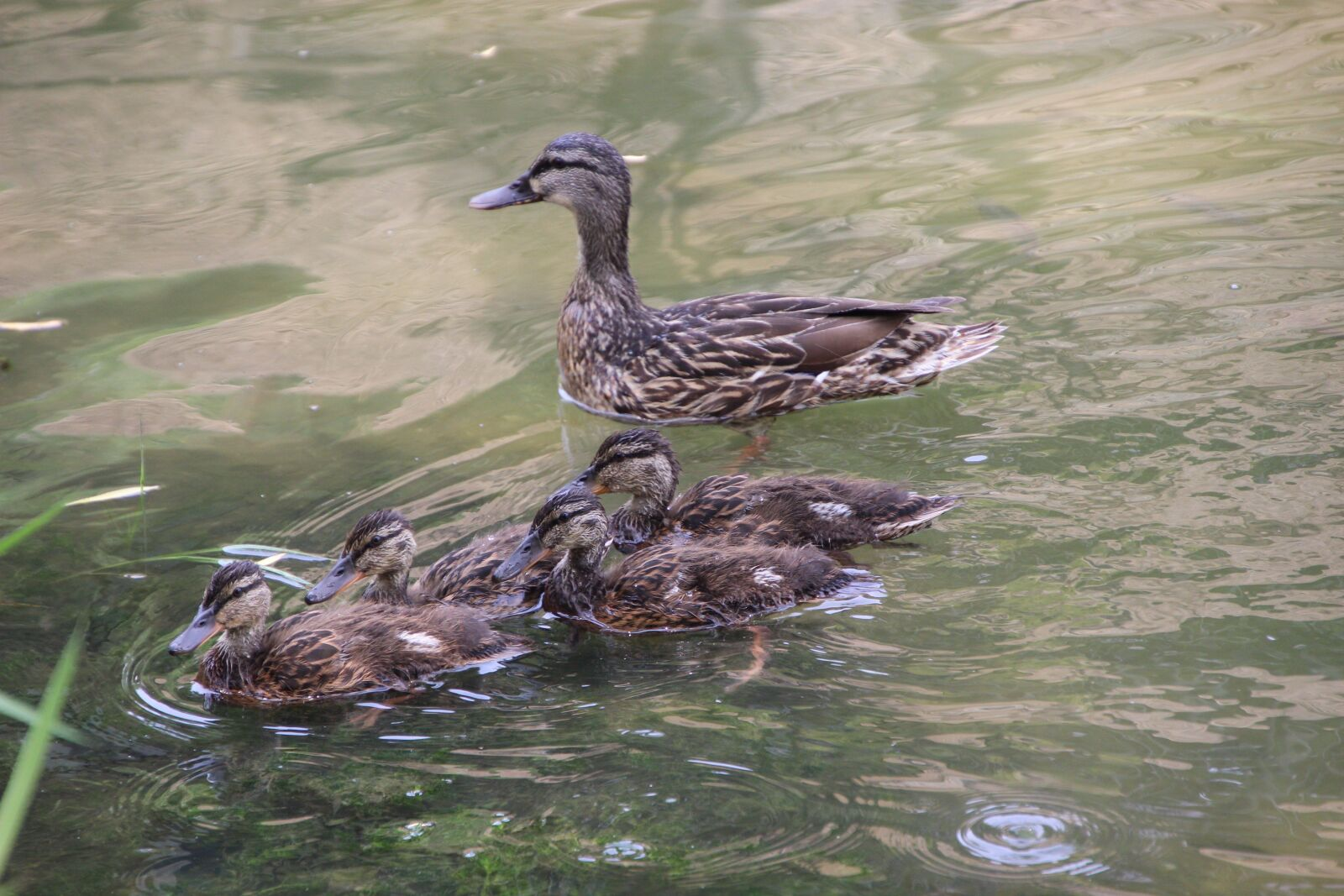 """Canon EOS 600D (Rebel EOS T3i / EOS Kiss X5) sample photo. """"Duck, duckling, lake"""" photography"""