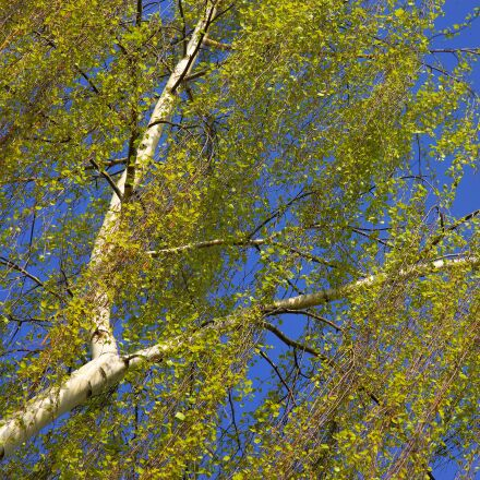 birch, spring, nature, Sony SLT-A99V