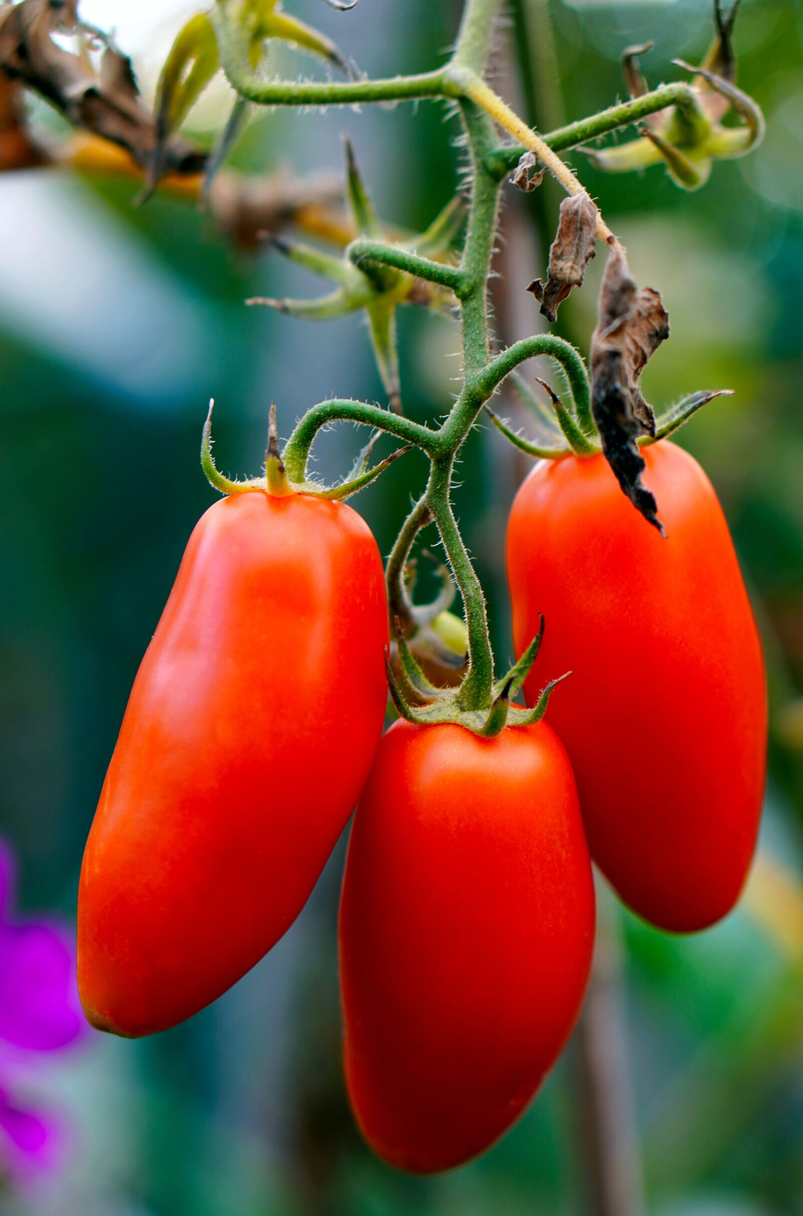 """Sony a6400 sample photo. """"Tomatoes, ripe, red"""" photography"""