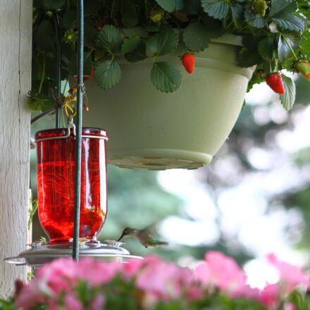 hummingbird, bird, flying, Canon EOS 7D