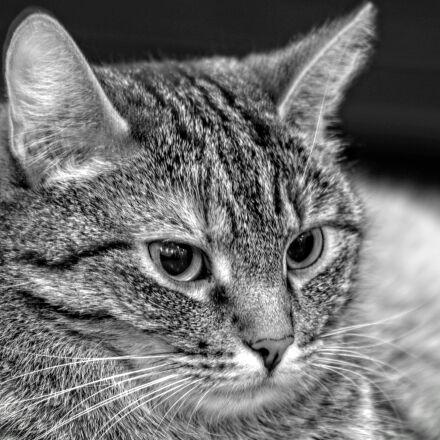 greyscale, photo, of, tabby, Nikon D3200