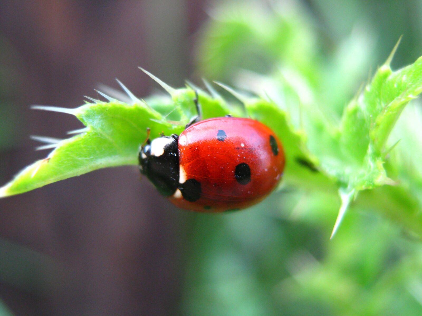 """Canon PowerShot A470 sample photo. """"Nature, ladybug, beetle"""" photography"""
