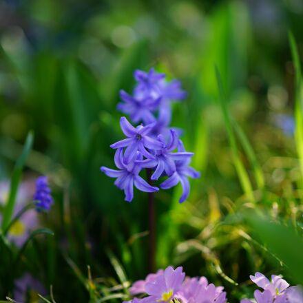 garden hyacinth, flower, blossom, Sony ILCE-7RM2
