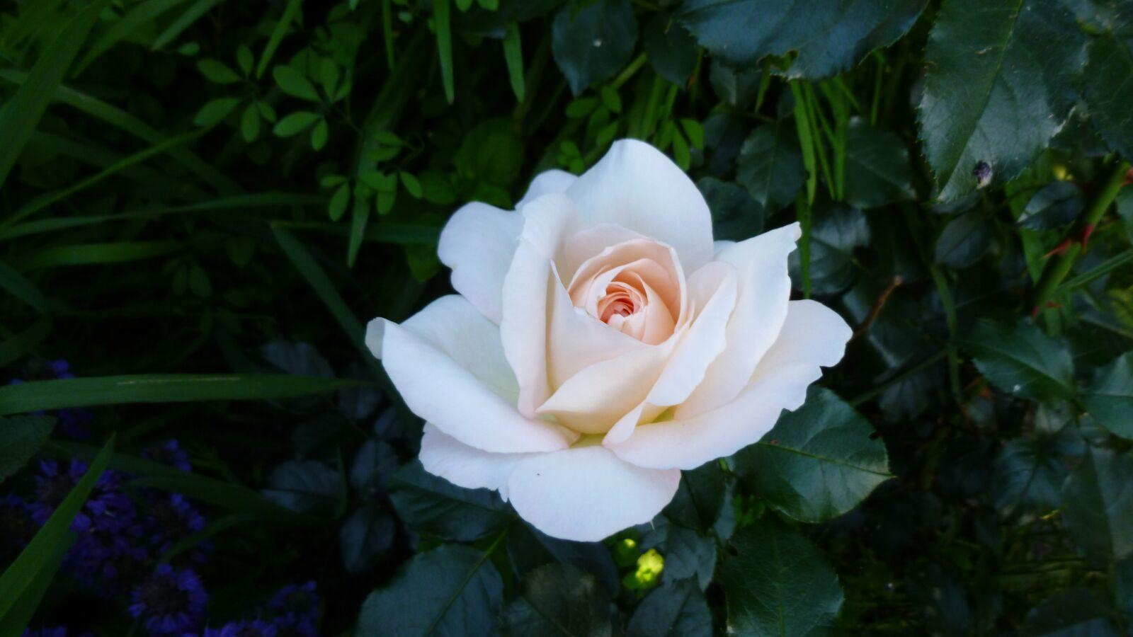 "Panasonic DMC-SZ3 sample photo. ""Rose, flower, bloom"" photography"