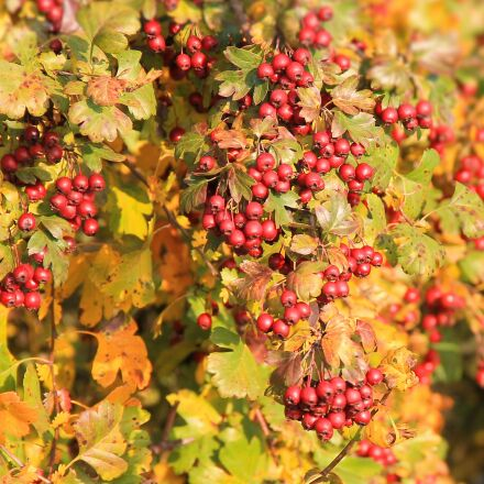 berry red, berries, hawthorn, Canon EOS 1100D