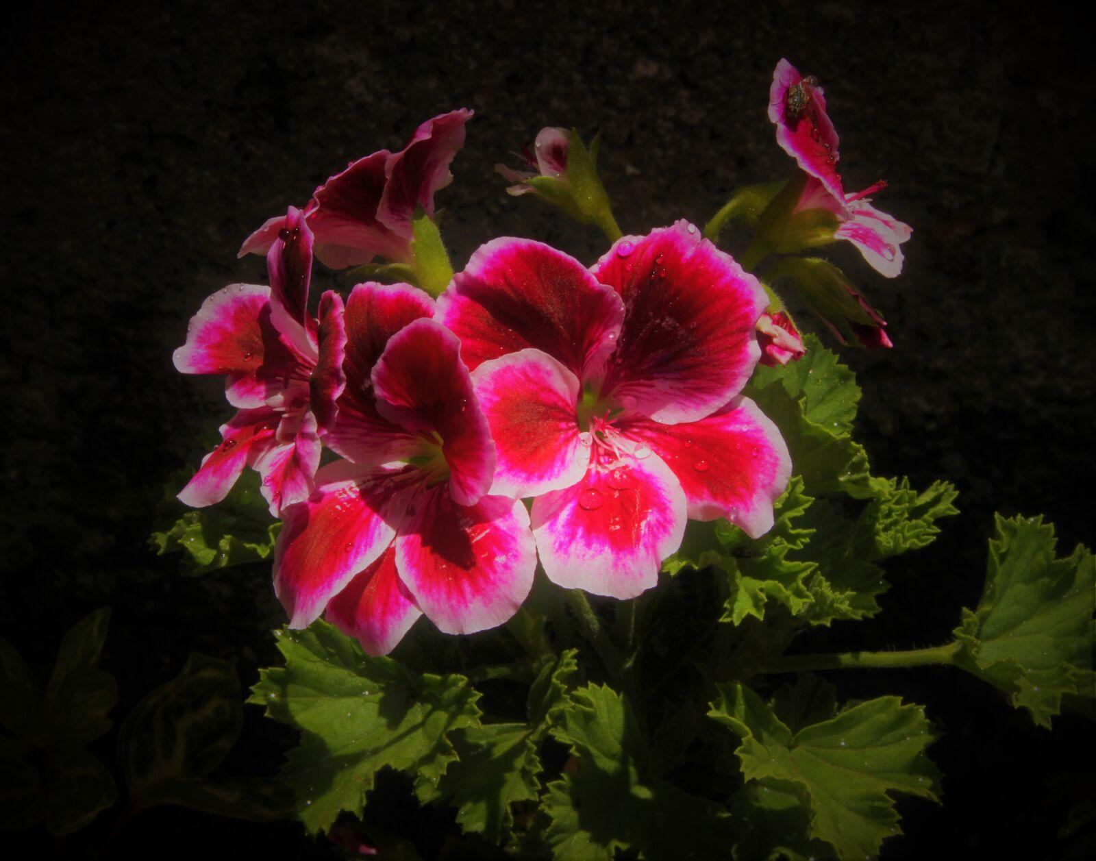 "Canon EOS 7D sample photo. ""Geranium, plant, flower"" photography"