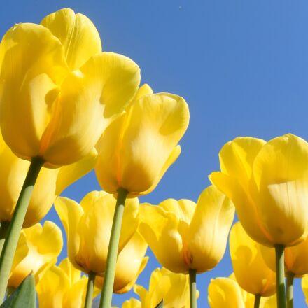 netherlands, tulips, keukenhof, Nikon 1 J4