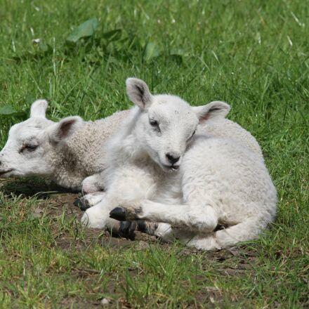 lambs, sheep, farm, Canon EOS 7D