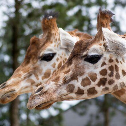 giraffe, zoo, animal, RICOH PENTAX K-3