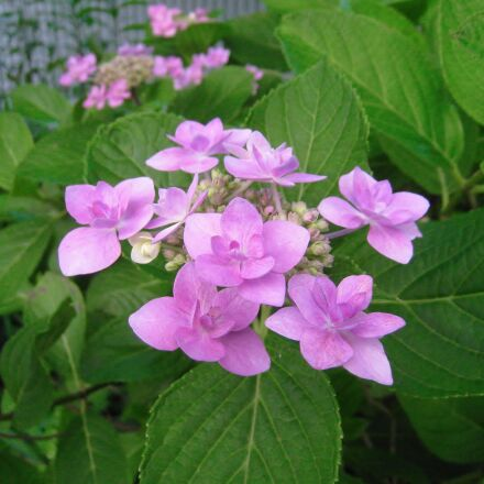 hydrangea, pink, leaf, Canon IXY DIGITAL 910 IS
