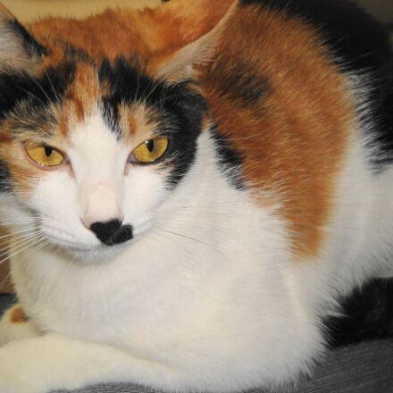 calico, cat, animal, Sony DSC-W270