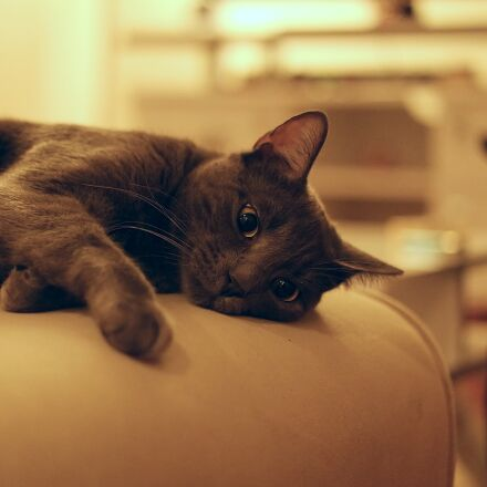 grey, cat, sleepy, Samsung NX3000