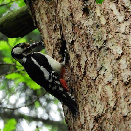 woodpecker, forest, bird, Nikon COOLPIX B700