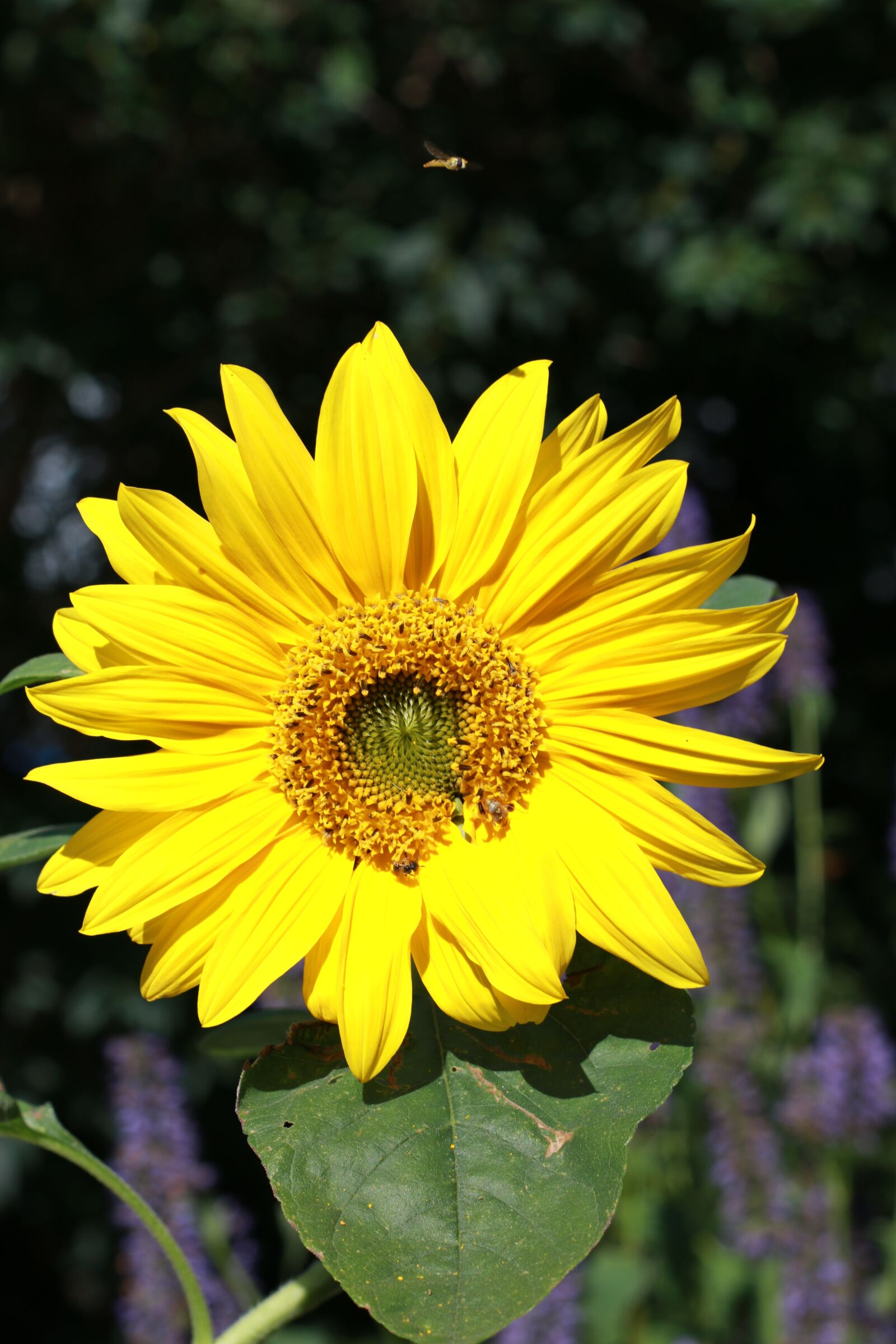 "Canon EOS 70D sample photo. ""Sunflower, flower, petals"" photography"