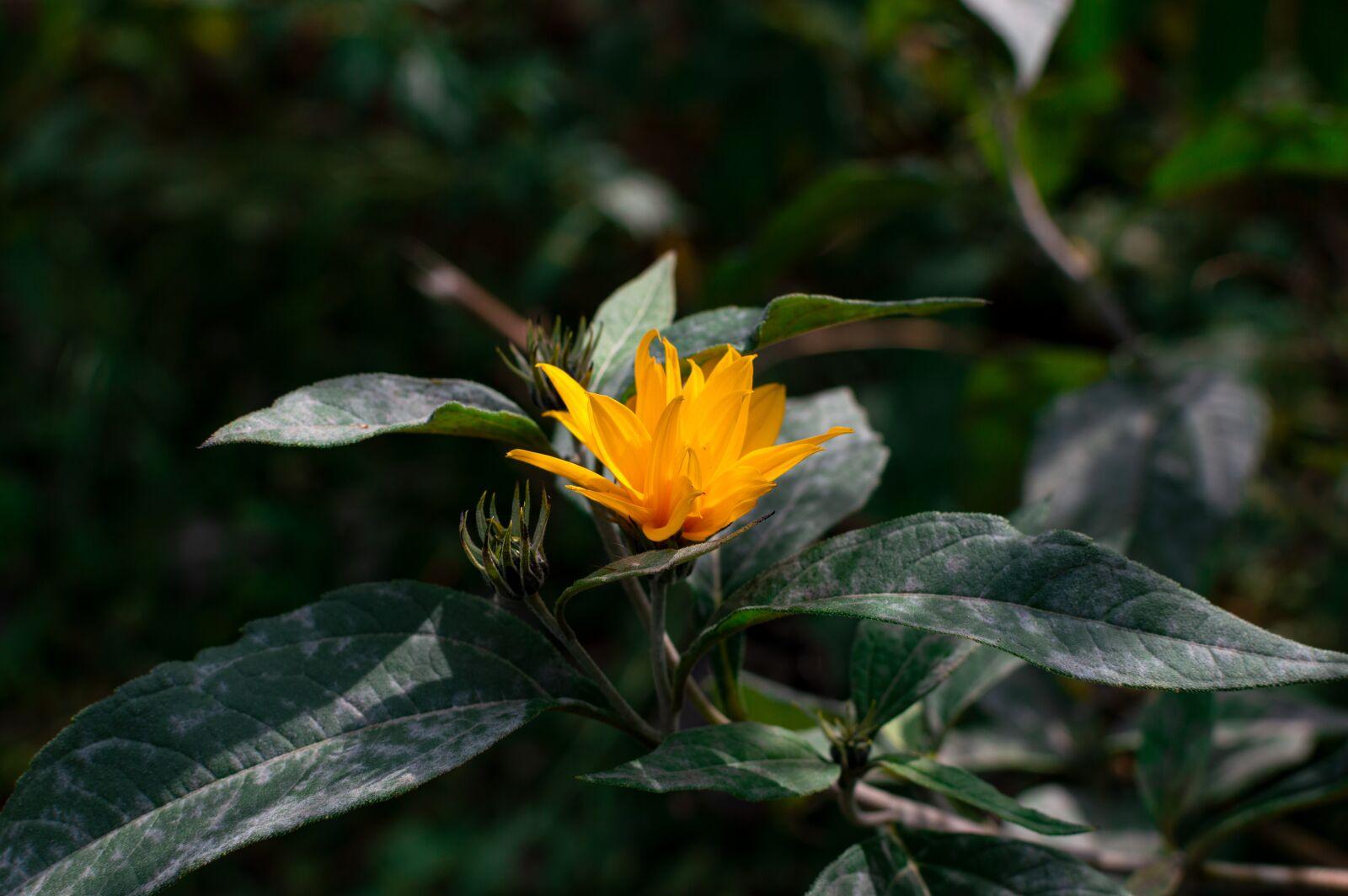 "Nikon D3200 sample photo. ""Jerusalem artichokes, flower, yellow"" photography"