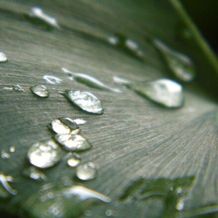 ginkgo, drops of water, Panasonic DMC-LZ20