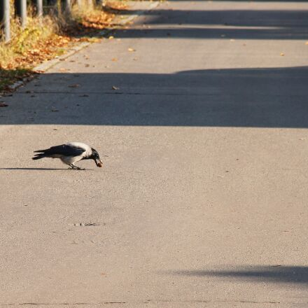road, crow, nut, Canon EOS 1100D