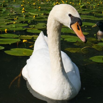 swan, swimming, water, Samsung NX mini